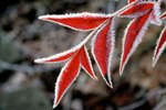 Nature Conservancy Frosty Leaf2